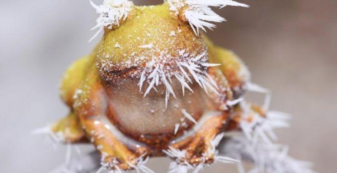 Раскрыт механизм «морозостойкости» лягушек