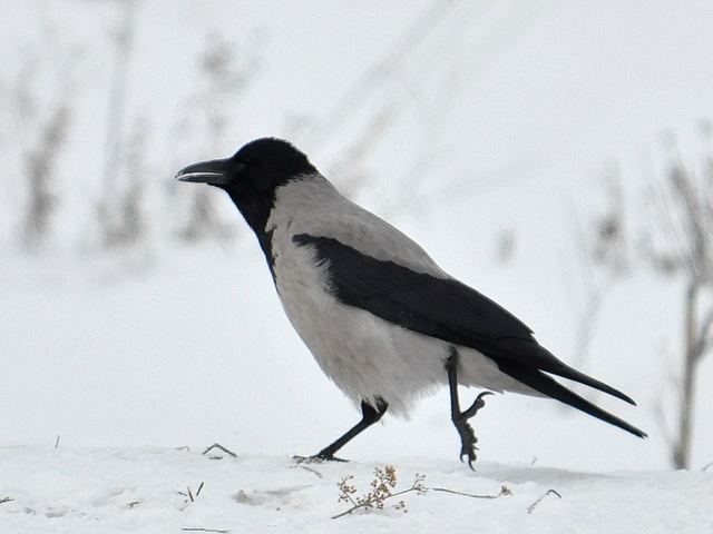 Серая ворона фото (Corvus cornix)