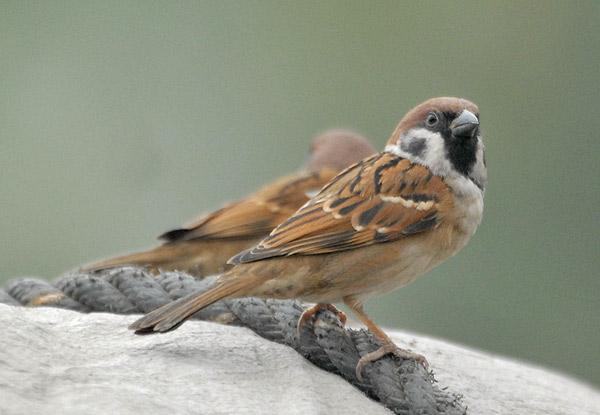 Полевой воробей фото (Passer montanus)