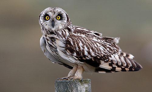 Болотная сова фото (Asio flammeus)