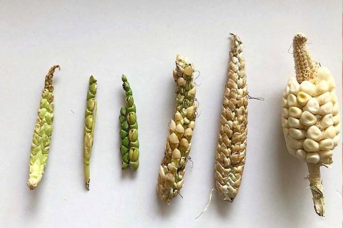 Вареной кукурузкой несколько столетий назад было бы трудно побаловаться. /Фото: blogspot.com